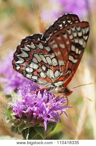 Variable Checkerspot (Euphydryas chalcedona) butterfly drinks flower nectar