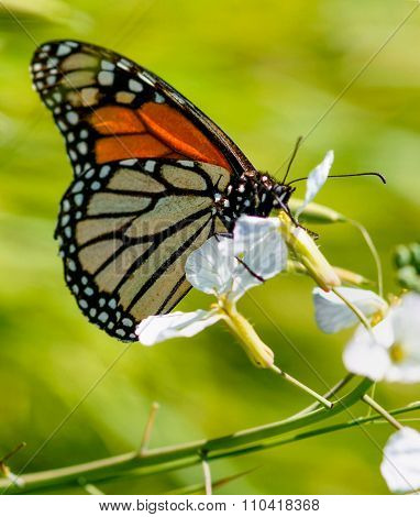 Monarch butterfly drinks flower nectar