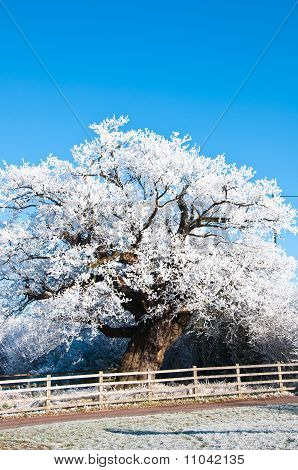 Ice Covered Shelter And Oak Tree.
