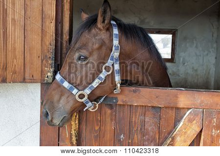 English Thoroughbred Racehorse In Box 07