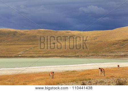 Llamas in yellow field