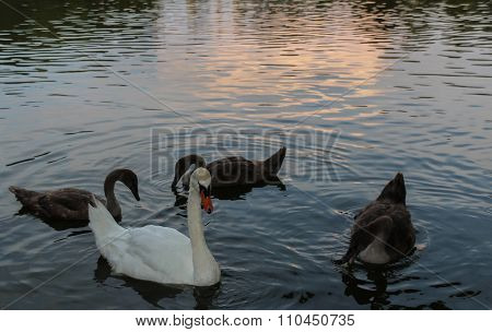 Swan mother with three young swans