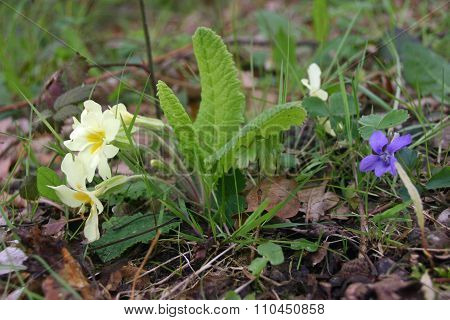 Primrose and violet flowers