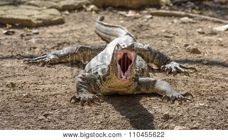 Asian Water Monitor With Open Mouth