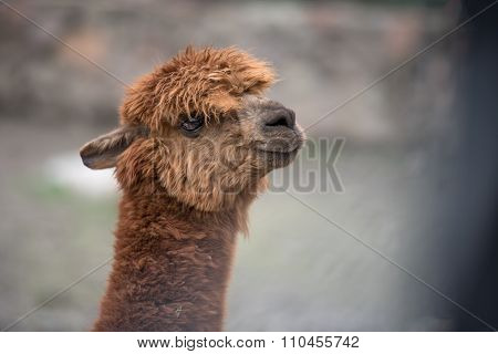 Baby Llama Portrait,