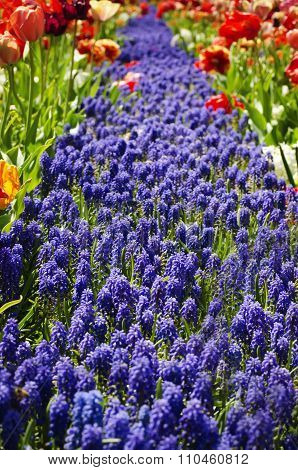 Garden Idea: Muscari Flower Path