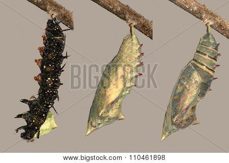 Metamorphosis of peacock butterfly