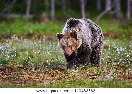 Brown Bear Walking In The Taiga