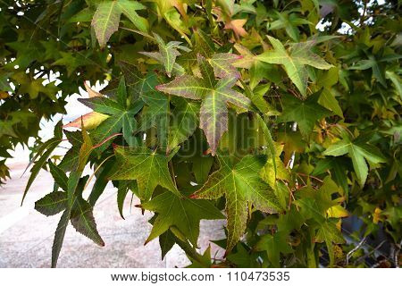 Multi-colored leaves of sycamore