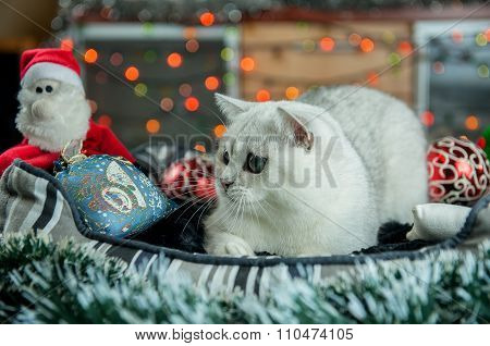 Beautiful Christmas British silver cat   with decoration