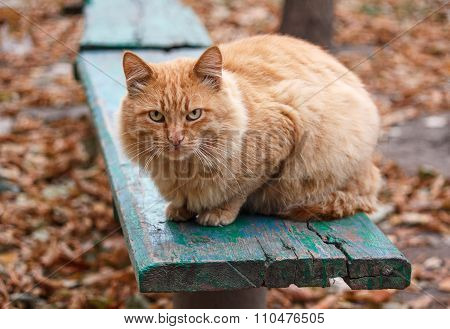 Severe Ginger Cat Sitting On A Bench