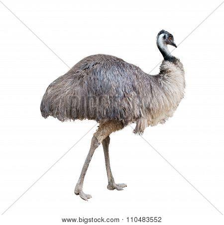 Emu Isolated On White Background