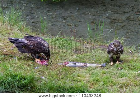 Bald Eagle Eating Salmon