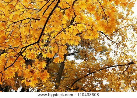 Trees with yellow leaves against the sky