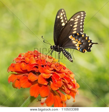 Papilio Polyxenes asterius, Eastern Black Swallowtail butterfly on an orange Zinnia against green summer background