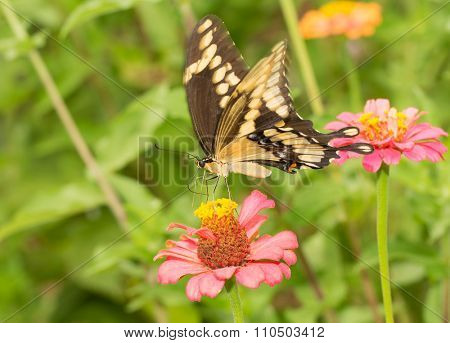 Giant Swallowtail butterfly on a pink Zinnia in summer garden