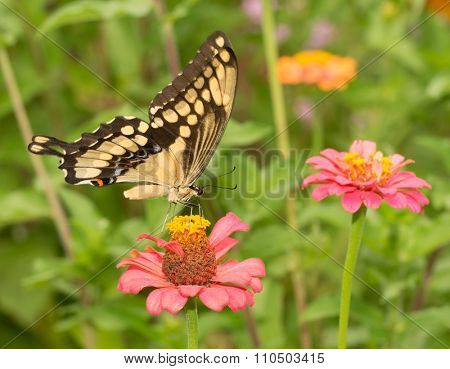 Papilio cresphontes, Giant Swallowtail butterfly, feeding on a pink Zinnia flower
