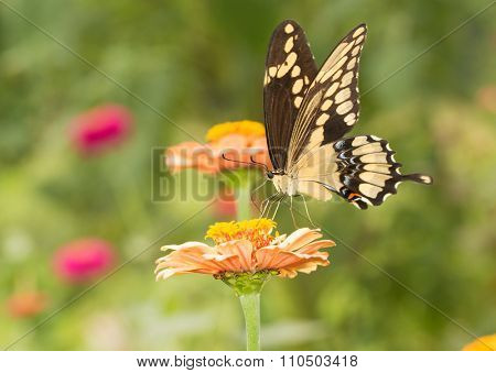 Beautiful Giant Swallowtail butterfly in summer garden