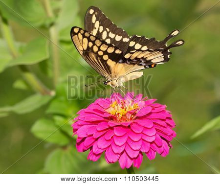 Ventral view of a Giant Swallowtail butterfly feeding on a pink flower