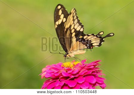Giant Swallowtail on a pink flower against green background