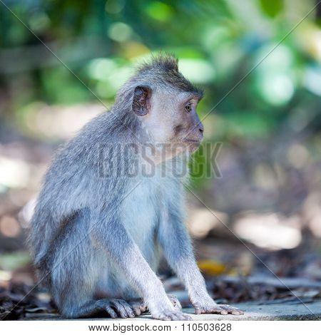 Family Of Monkeys In Temple Park, Bali