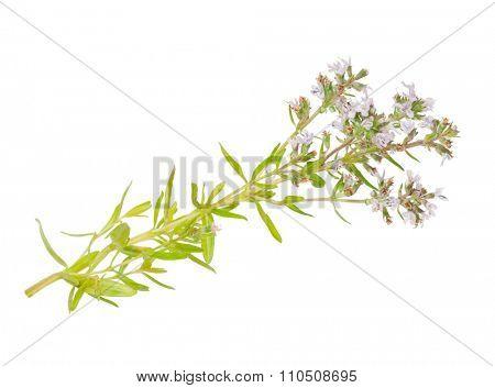 Medicinal plant: Thymus marschallianus