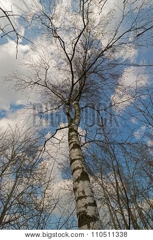 Birch Tree With Blue Sky And Clouds.