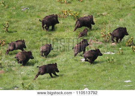 Wild Boar Drove Runing