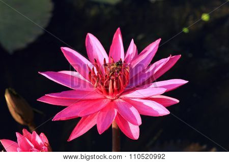 Waterlily Blooming With Bee