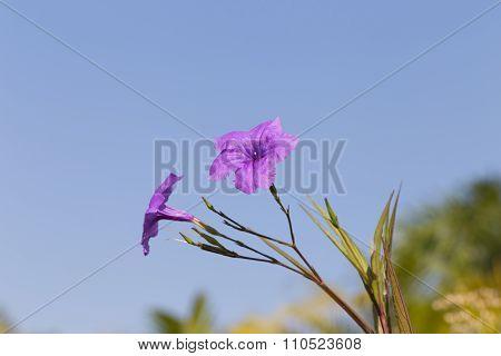 Purple Ruellias Flower