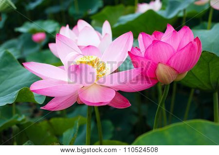 Lotus rare flower. Symbol of purity.