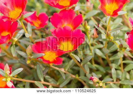 Common Purslane, Verdolaga, Pigweed, Little Hogweed or Pusley