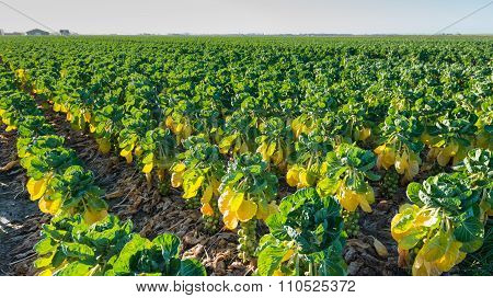 Long Rows Of Plants With Growing Brussels Sprouts