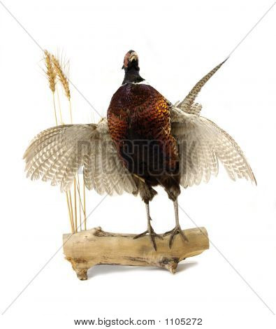 Pheasant Front