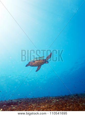 Green Sea Turtle Near Coral Reef, Bali