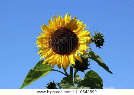 Sunflower On The Blue