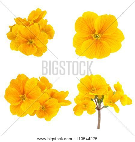 Yellow Spring Flowers Primrose Collection