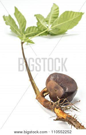 Germinated chestnut