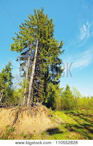 Beautiful Pine Tree
