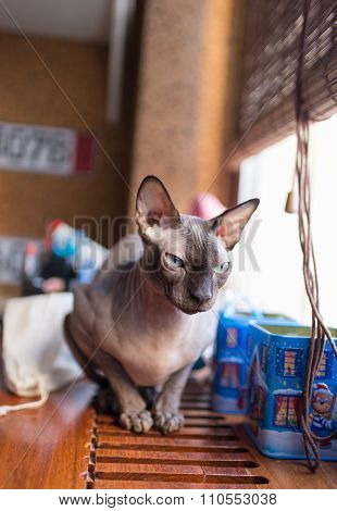 Canadian Sphynx Cat