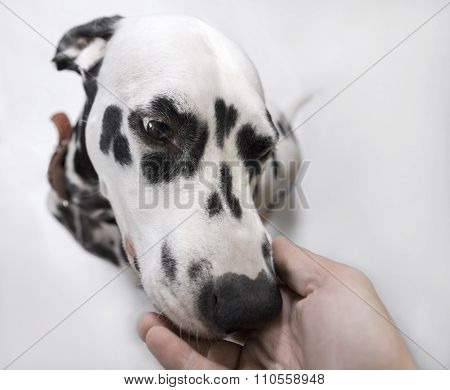 Dalmatian Dog Sniffs The Hand Of Man