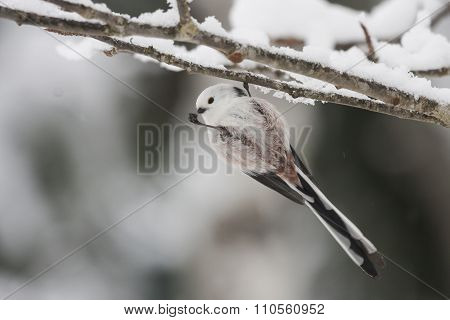 eating long-tailed tit