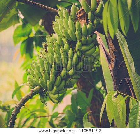 Bunch of green bananas on tree in the jungle