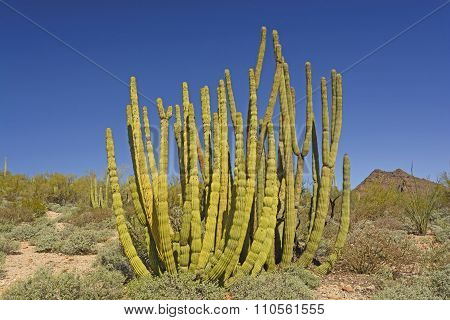 Organ Pipe Cactus In The Desert