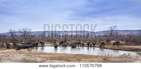 African Bush Elephant In Kruger National Park