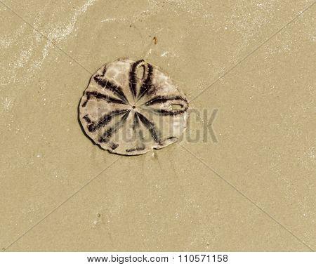 sand dollar (Clypeasteroida)  on the beach at Haad  yao, Thailand