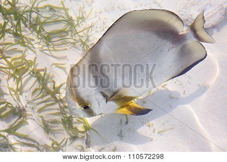 ACANTHURUS TRIOSTEGUS, Convict surgeonfish.
