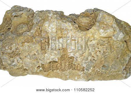 Large fossilized hexacorallia in quartz