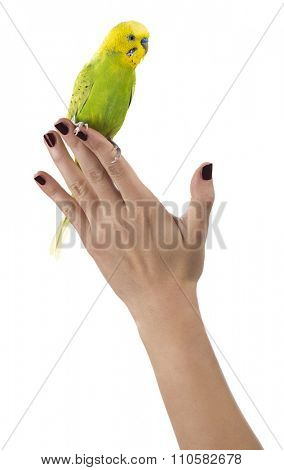 Budgie on Female Hand