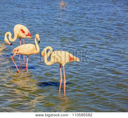 Evening light in the National Park of the Camargue, France. Flock of pink flamingos arranged to sleep